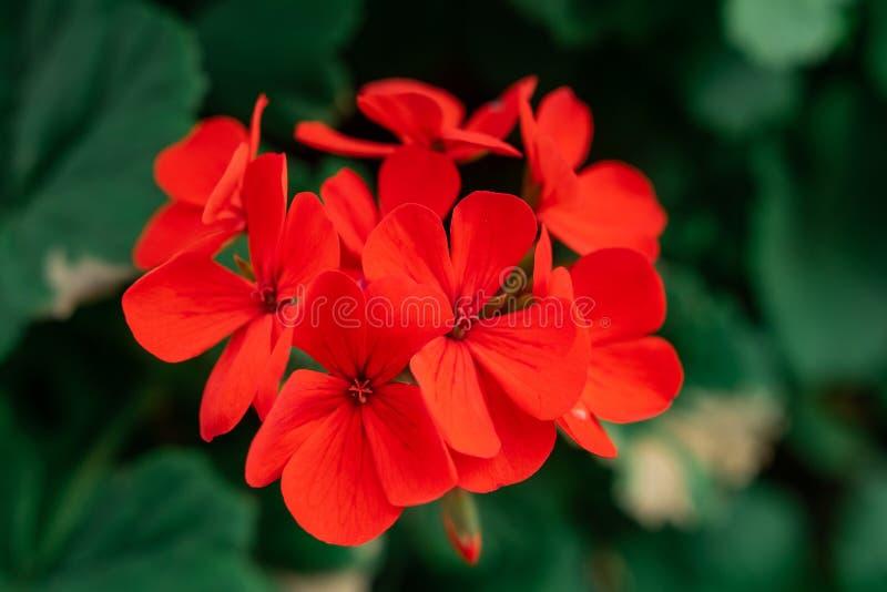 Czerwony kwiat z zielonymi liśćmi zdjęcia stock