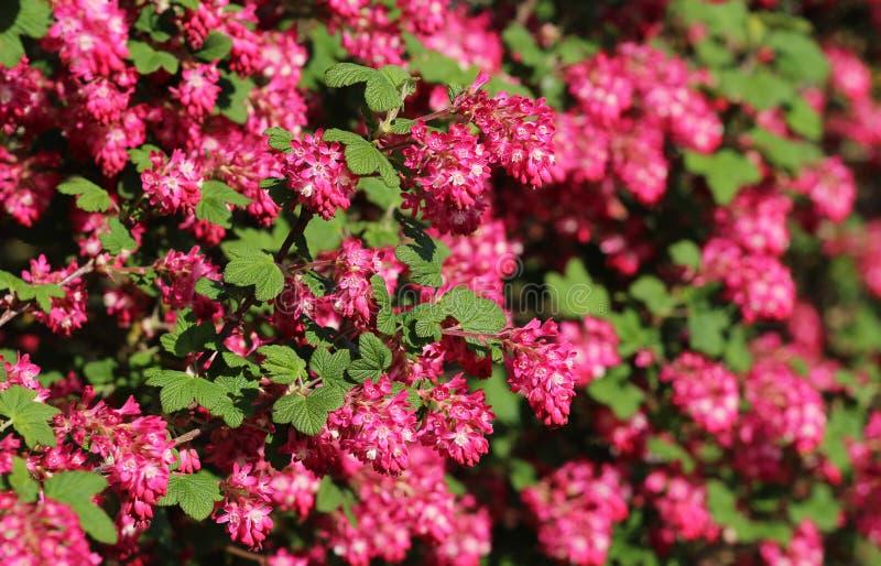 Czerwony kwiatonośny rodzynek w górę selekcyjnej ostrości, z fotografia stock