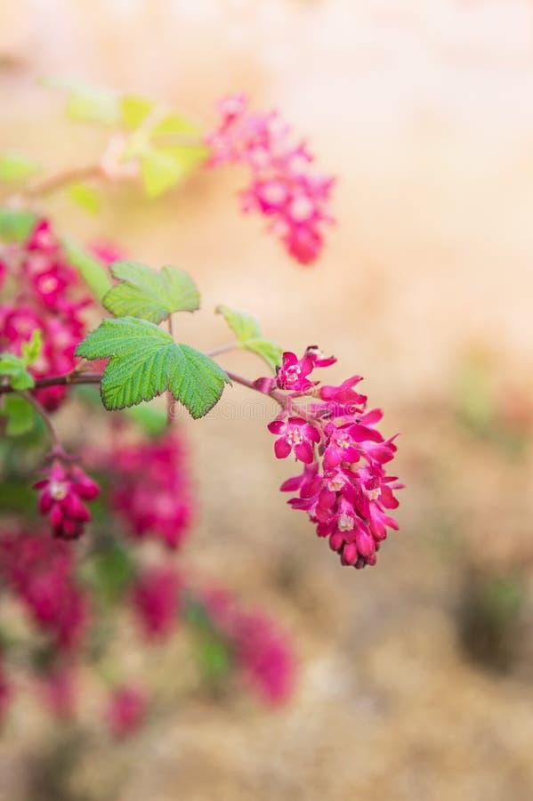 Czerwony kwiatonośny rodzynek w wiosna ogródzie fotografia royalty free