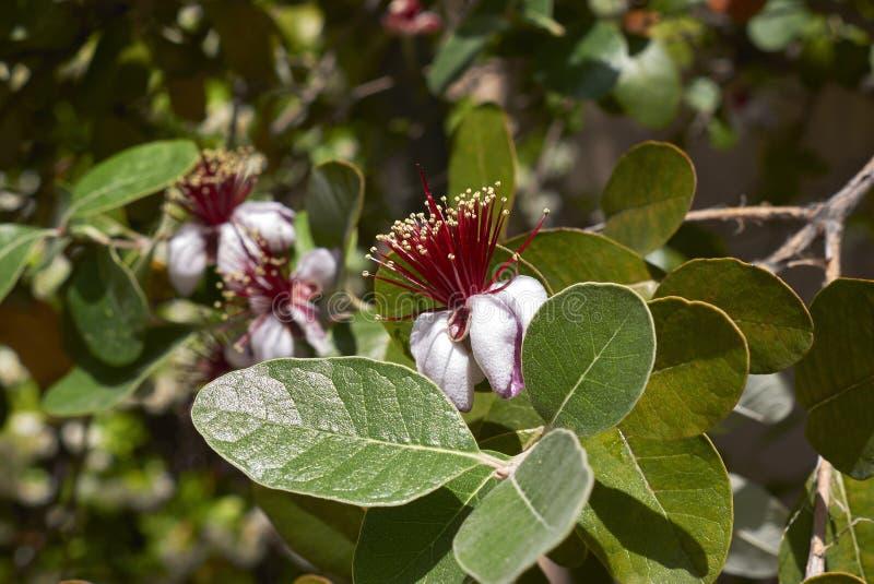 Czerwony kwiatostan Feijoa sellowiana drzewo fotografia royalty free