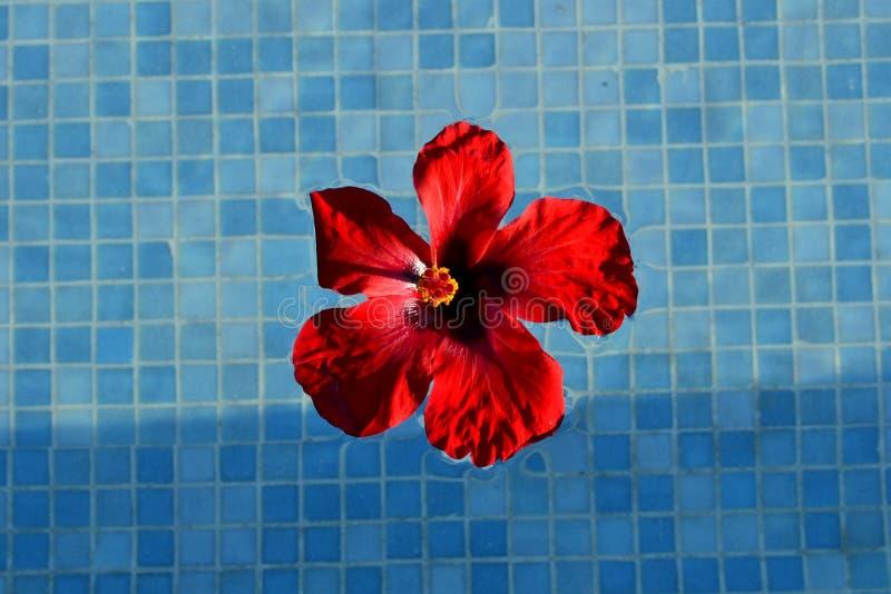 Czerwony kwiatu chi?czyk wzrasta? obrazy royalty free
