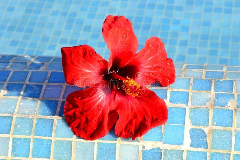 Czerwony kwiatu chi?czyk wzrasta? zdjęcie royalty free