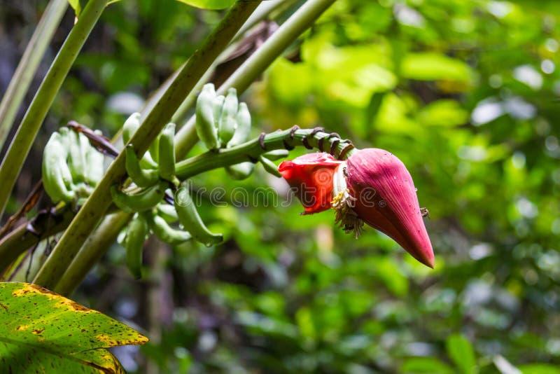 Czerwony kwiatu pączek na trzonie na zielonym tle Phuket, Tajlandia obraz stock