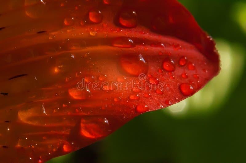 Czerwony kwiatu płatek w kroplach rosy makro- fotografia zdjęcia stock