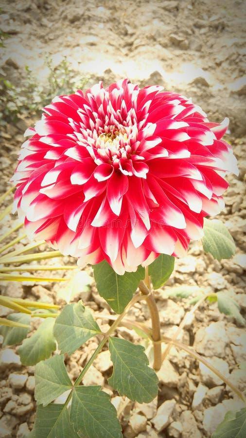 Czerwony kwiatu piękno natura obrazy stock