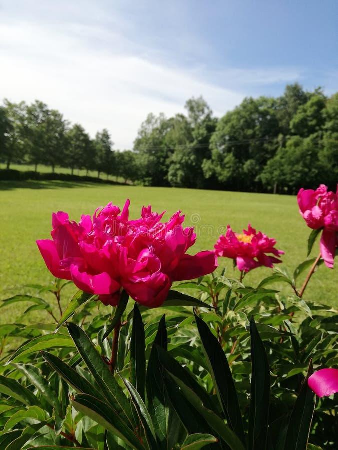 Czerwony kwiatu pierścionek na ogrodowym backgound obraz royalty free