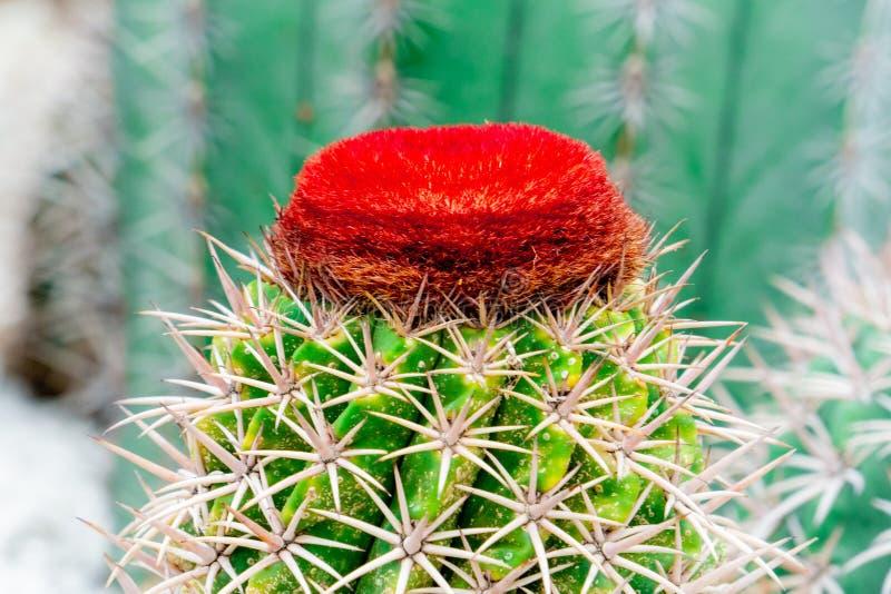 Czerwony kwitn?cy kaktusowy kwiatu wierzcho?ek zielony kaktus na rockowym ogr?dzie fotografia royalty free