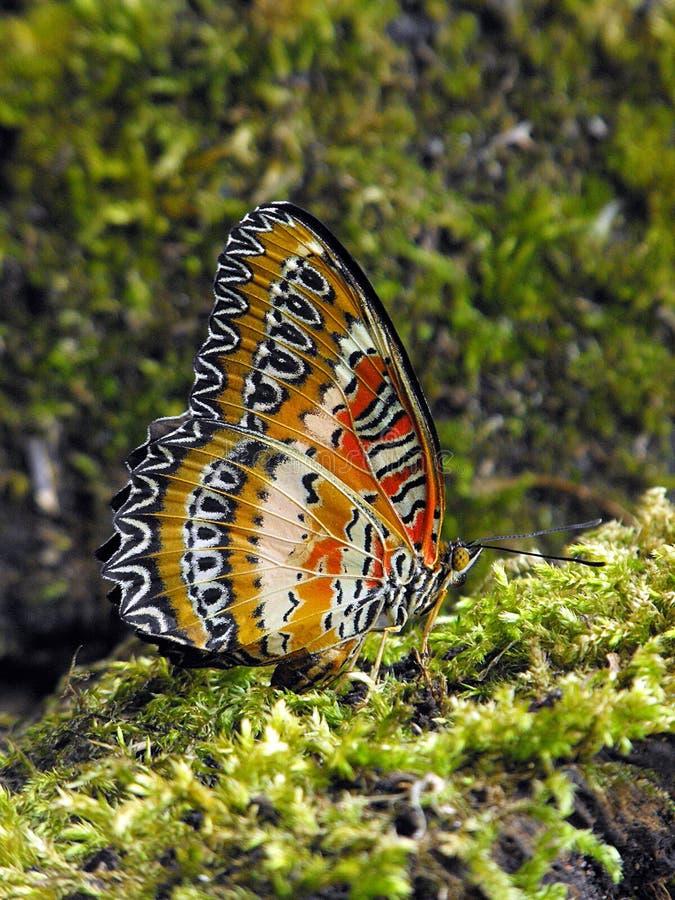 Czerwony Lacewing spód fotografia royalty free