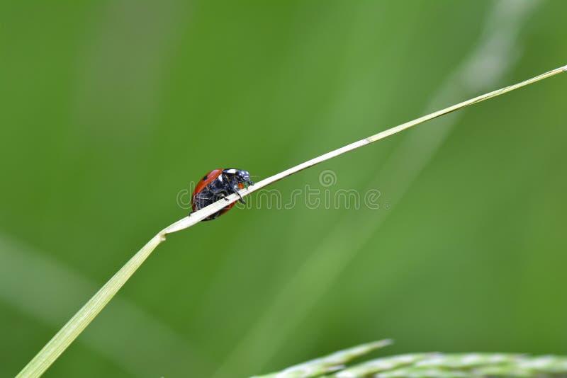 Czerwony Ladybird na roślinie w zielonej naturze obrazy stock