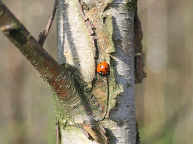 Czerwony ladybird obsiadanie na brzoza bagażniku obraz stock