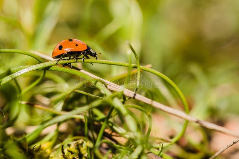 Czerwony ladybird wspina się na zielonym badylu z czarnymi kropkami zdjęcia stock