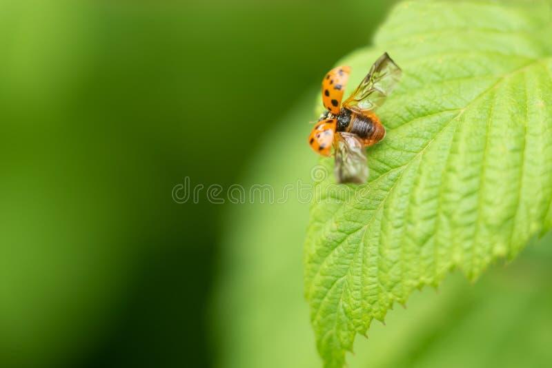 Czerwony latający ladybird na liściu obrazy stock