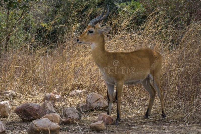 Czerwony Lechwe w parku narodowym W, Niger fotografia stock