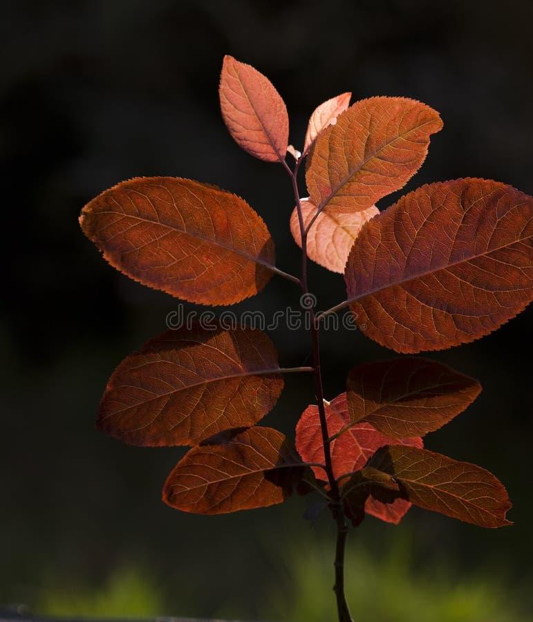 Czerwony liść obrazy stock