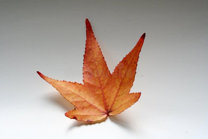 Czerwony liść klonowy fotografia stock