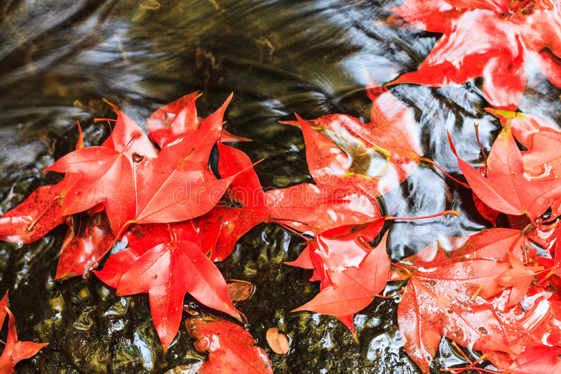 Czerwony liść klonowy podczas spadku fotografia royalty free