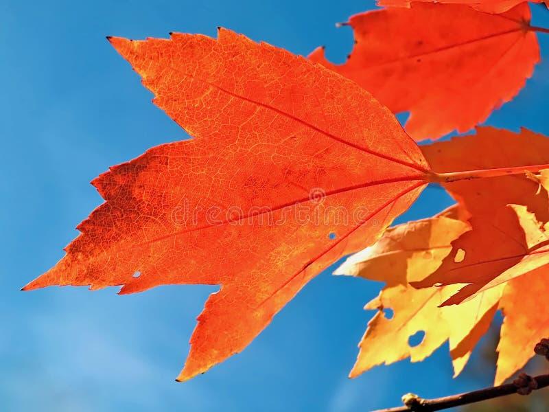 Czerwony liść klonowy z niebieskim niebem obrazy royalty free