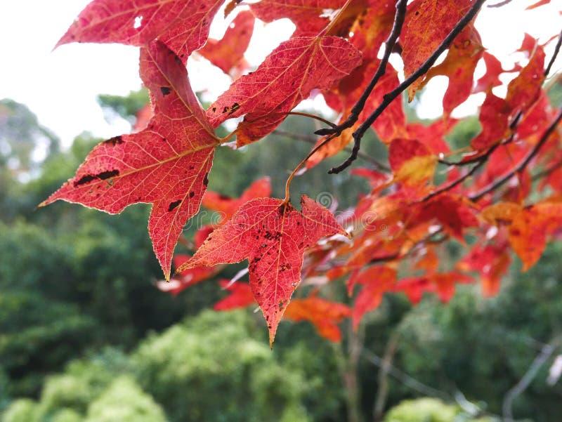 Czerwony liść w Yuen Tęsk w Hong Kong zdjęcia royalty free