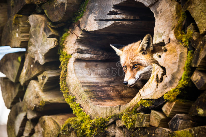 Czerwony lis (Vulpes) zdjęcia royalty free