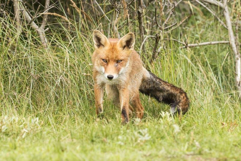 Czerwony lis, Vulpes vulpes Futerkowy ogon zdjęcie stock