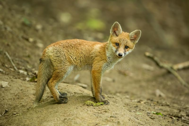 Czerwony lis, vulpes vulpes, lisiątko w lesie blisko nory obraz royalty free