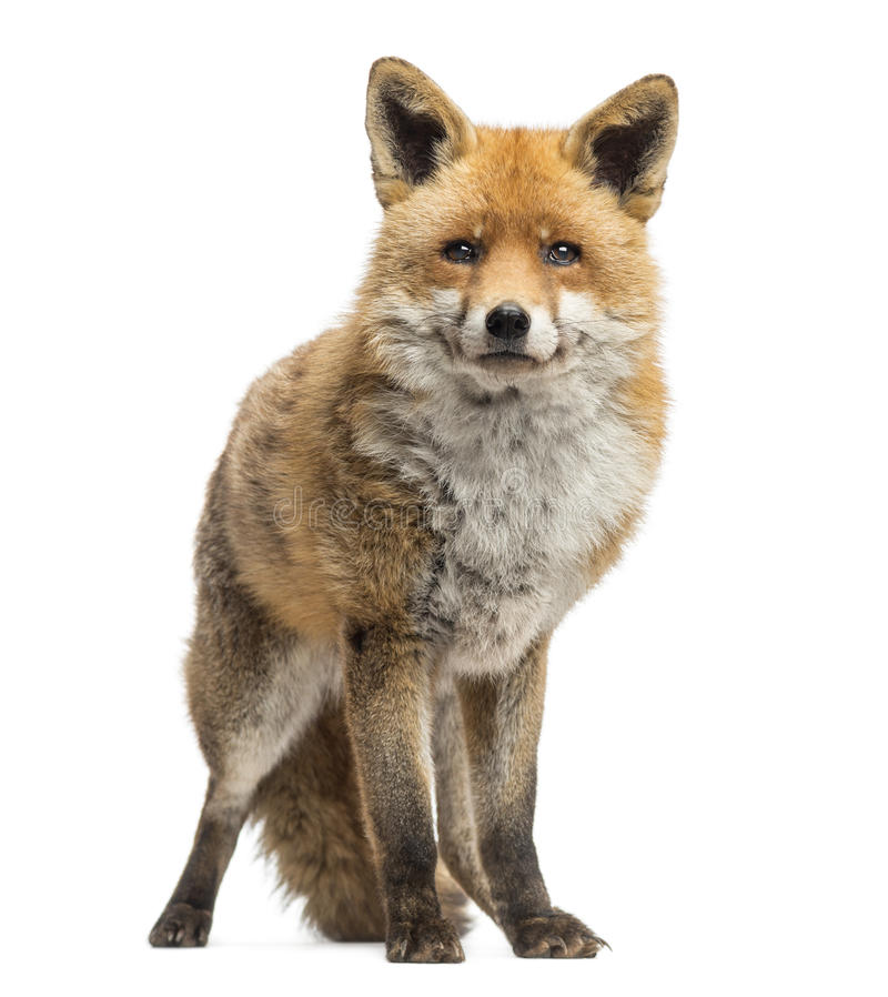 Czerwony lis, Vulpes vulpes, pozycja, odizolowywający zdjęcia stock