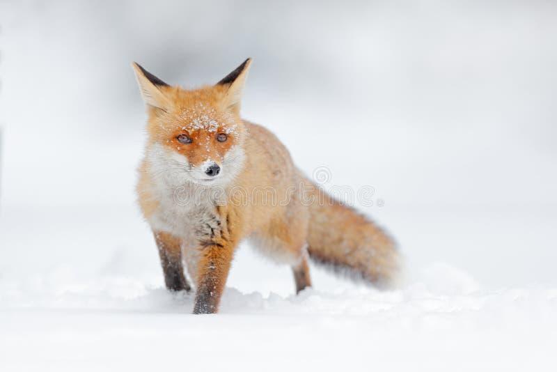 Czerwony lis w białym śniegu Zimna zima z pomarańczowym futerkowym lisem Łowiecki zwierzę w śnieżnej łące, Japonia Piękny pomarań fotografia royalty free