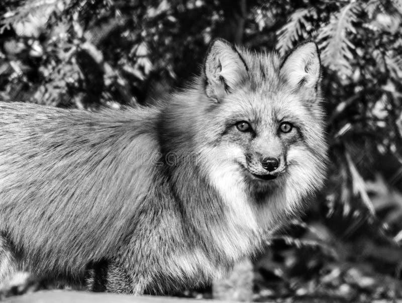Czerwony lis w lesie, czarny i biały zdjęcia stock
