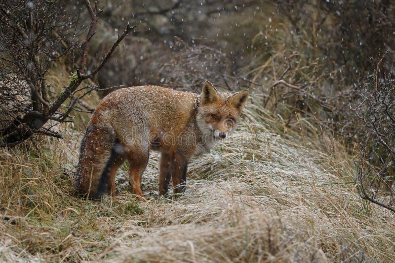 Czerwony lis w zimy landschap, obraz royalty free