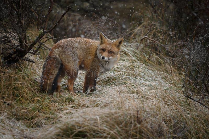 Czerwony lis w zimy landschap, obraz stock