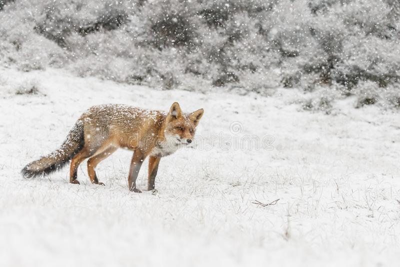 Czerwony lis w zimy landschap, zdjęcia stock