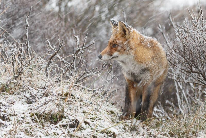 Czerwony lis w zimy landschap, zdjęcie royalty free