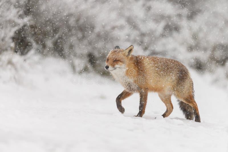 Czerwony lis w zimy landschap, zdjęcia royalty free