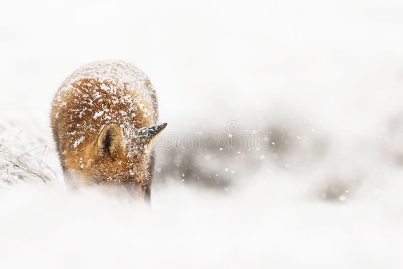 Czerwony lis w zimy landschap, fotografia stock