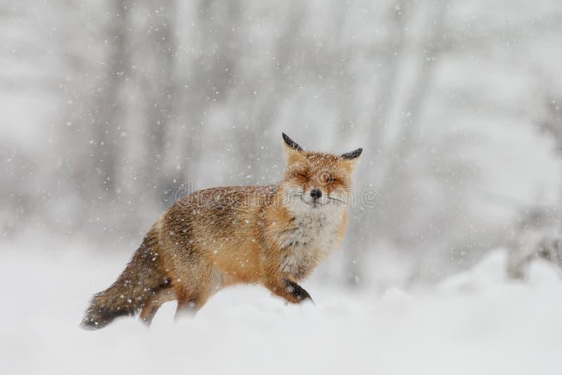 Czerwony lis w zimy landschap, obrazy royalty free