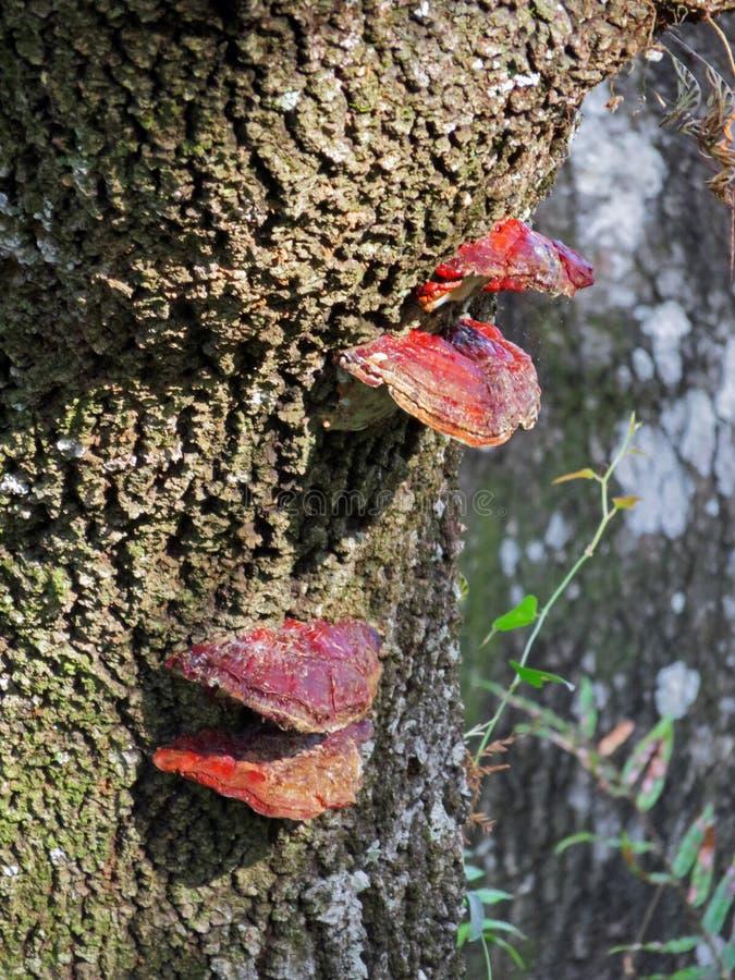 Czerwony liszaj na drzewnym bagażniku fotografia stock
