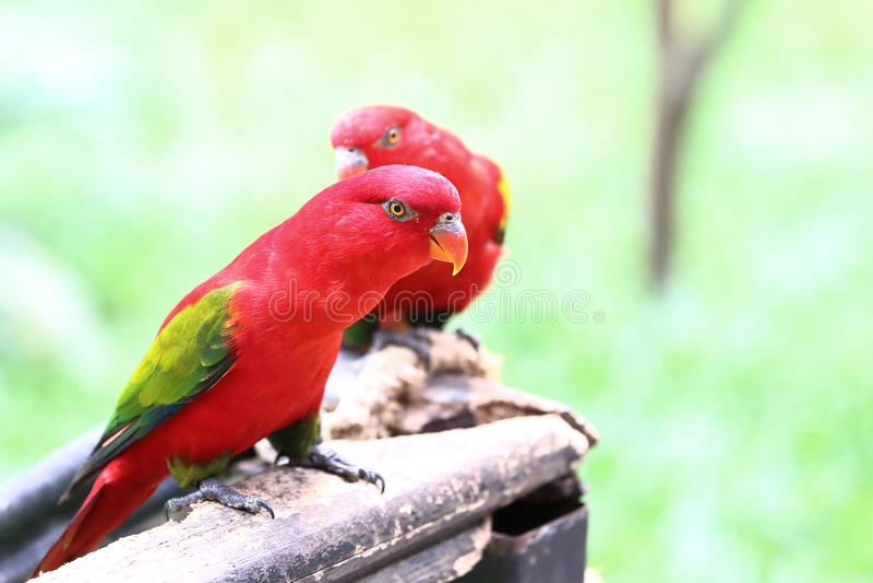 Czerwony Lory ptak obrazy stock