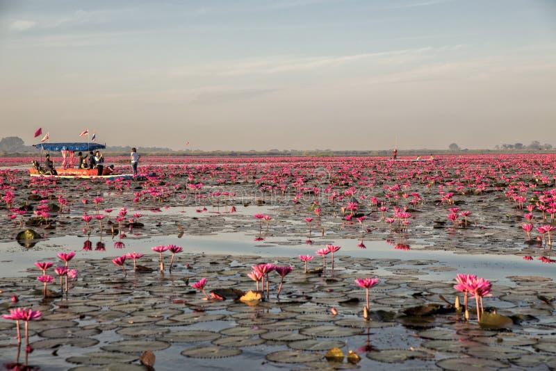 Czerwony Lotosowy jezioro przy Han Kumphawapi w Udonthani, Tajlandia obrazy stock