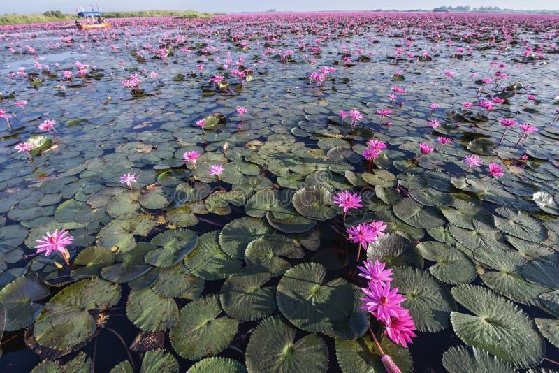 Czerwony Lotosowy jezioro przy Han Kumphawapi w Udonthani, Tajlandia zdjęcia stock