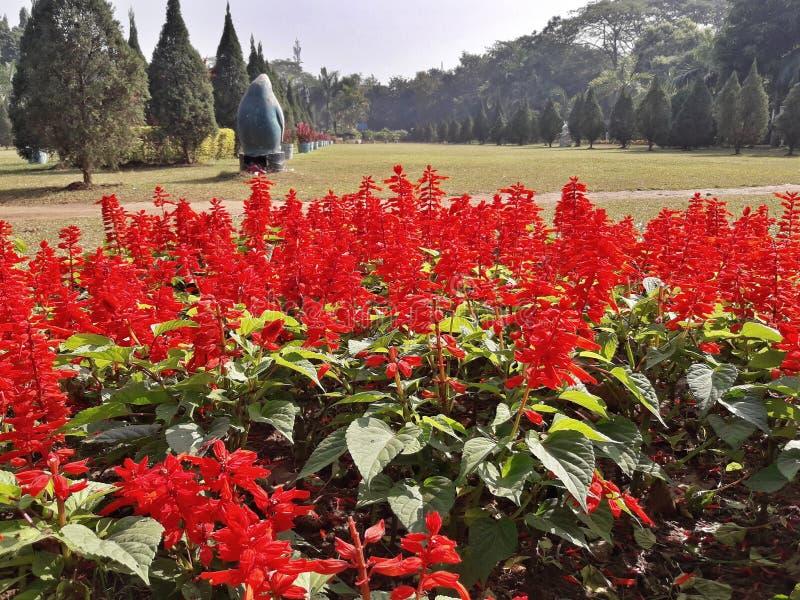 Czerwony Lupine kwitnie w parku zdjęcie stock