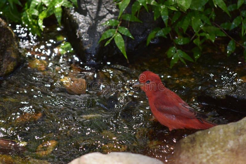 Czerwony męski lata Tanager ptak bierze skąpanie fotografia royalty free