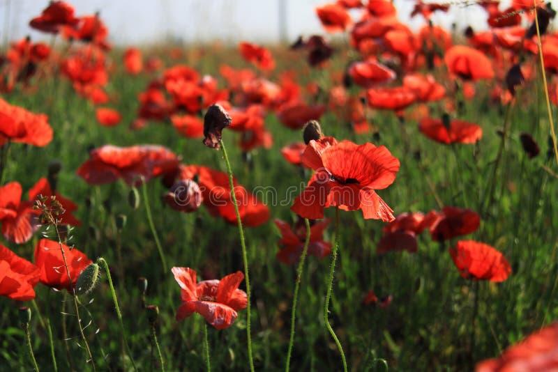 Czerwony maczek zdjęcie royalty free