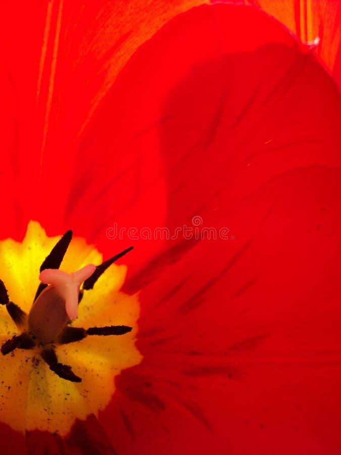 Czerwony czerwony maczek from inside fotografia royalty free
