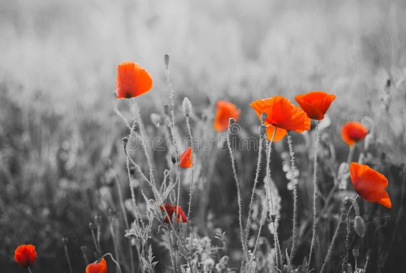 Czerwony maczek Kwitnie dla wspominanie dnia fotografia royalty free