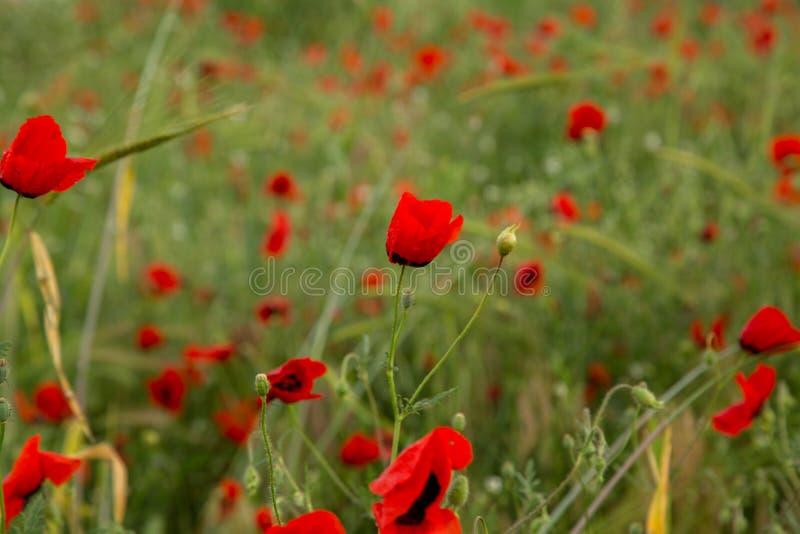 Czerwony maczek kwitnie pod deszczem g??boko?? pola p?ytki Selekcyjna ostro?? fotografia royalty free