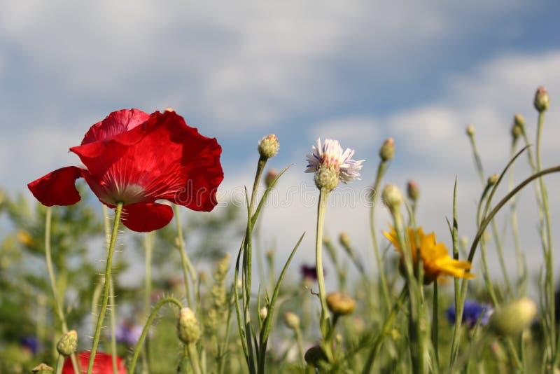 Czerwony maczek między wildflowers w polach w Holland i niebieskim niebem w tle obraz royalty free