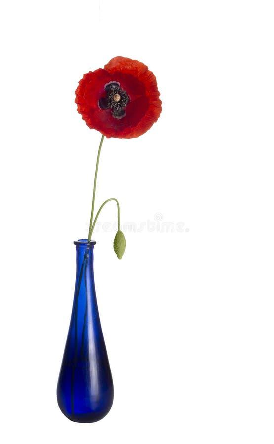 Czerwony maczek, raczej potargany, w błękitnej szklanej wazie, odizolowywającej na białym tle dziki kwiat Papaver rhoeas obraz stock
