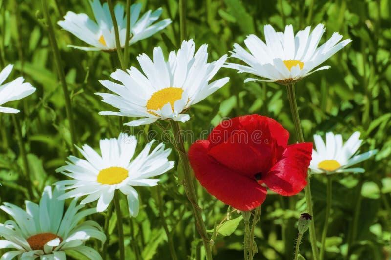 Czerwony maczek wśród białej stokrotki, zdjęcia royalty free