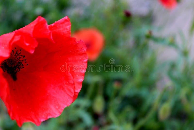 Czerwony maczek w ogródzie obrazy stock