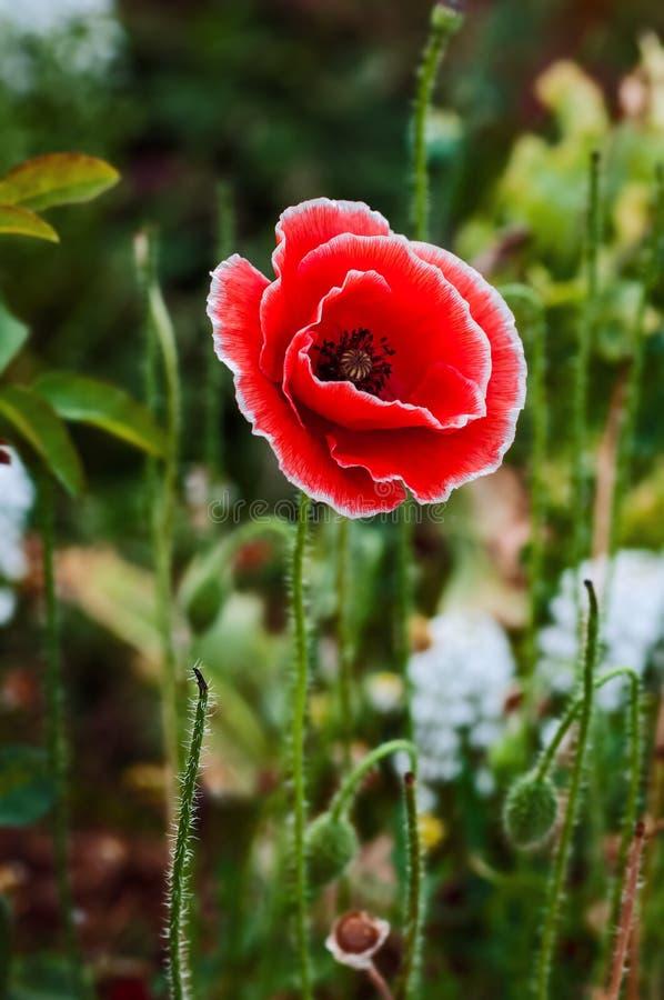 Czerwony maczek z białymi porada płatkami w kwiatu pojedynczym kwiacie fotografia stock